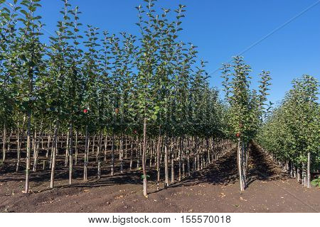 View in the rows of a tree nursery with numerous young apple trees