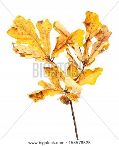 Yellow Dried Autumn Leaves On Oak Twig