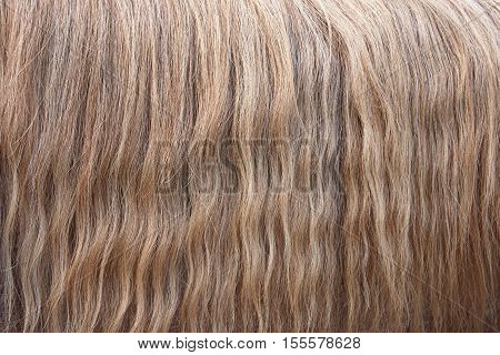 Wavy hair mane horse golden color with gray. Texture background