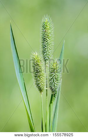 Timothy-grass ( lat. Phleum pratense) is a typical species of the genus Timothy (Phleum) the family of Grasses. Wild herb Siberia