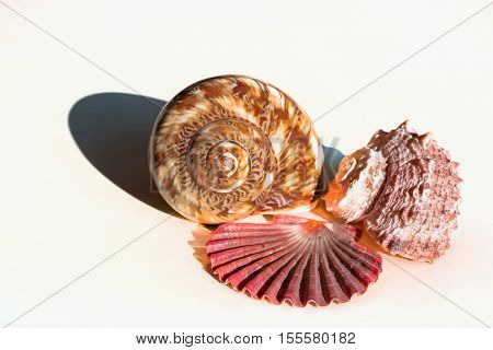 Three different seashells isolated on white background