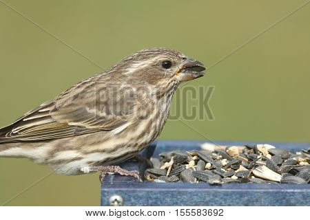 Female Purple Finch (Carpodacus purpureus) perched on a feeder