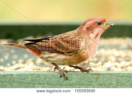 Male Purple Finch (Carpodacus purpureus) perched on a feeder with a green background