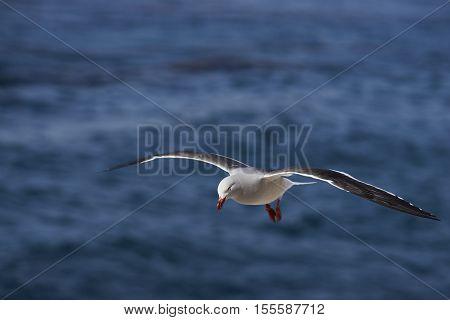Dolphin Gull (Leucophaeus scoresbii) in flight on the coast of Carcass Island in the Falkland Islands.
