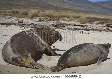 Male Southern Elephant Seal (Mirounga leonina) accosting a female on the coast of Carcass Island in the Falkland Islands.