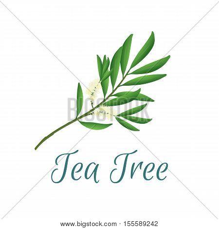 Vector illustration with tea tree, also named like Malaleuca alternifolia, used in aromatherapy and medicine