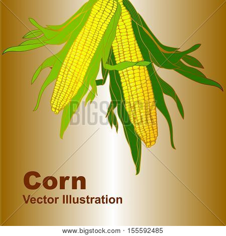 Corn, Maize. Natural illustration with corn on a background. Illustration, vector, isolated.