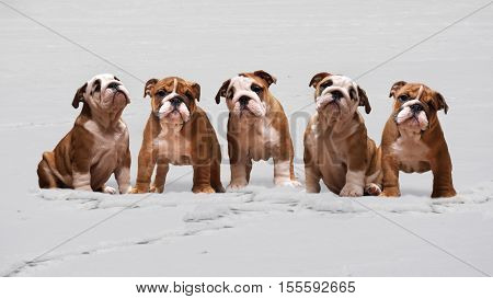 Dogs in the snow. Lots of cute English bulldog puppies. Winter snow