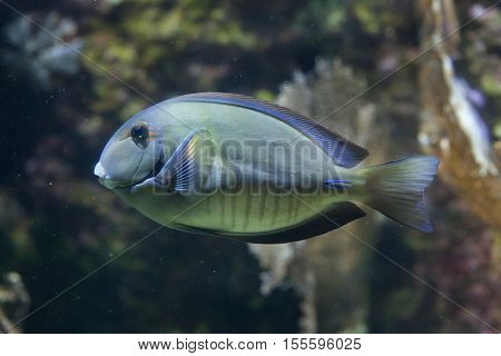 Doctorfish (Acanthurus chirurgus), also known as the doctorfish tang.