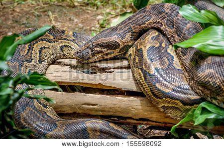 African Rock Python  close up in Uganda, Africa