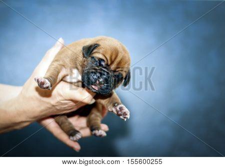 Dogue De Bordeaux - Puppies - 6 Days
