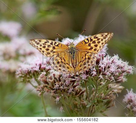 papillon marron qui butine sur la fleur rose