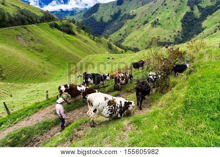 Farmer and cows in Quindio department near Salento Colombia