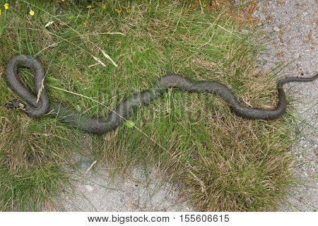 Grass snake (Natrix natrix), also known as the water snake. Wildlife animal.
