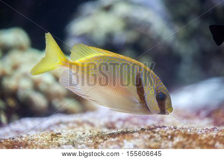 Scribbled rabbitfish (Siganus doliatus), also known as the barred spinefoot.