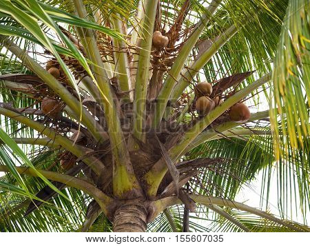 Coconut palm with riped nuts on Ceylon island
