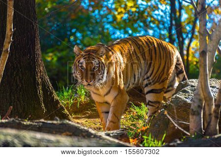 A tiger roams around in his lair at the Zoo.