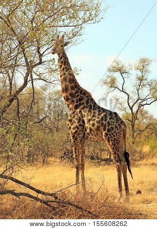 Tall Giraffe standing next to a tree in Hwange National Park, with natural blue hazy sky and bush surroundings