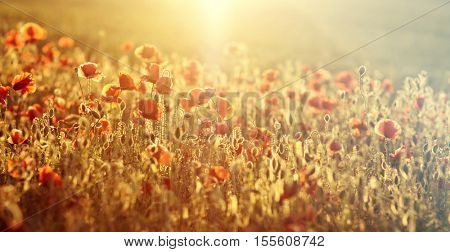 Poppies in the field - Remembrance Sunday background
