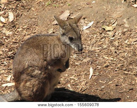 A common Australian marsupial referred to as the rock wallaby.