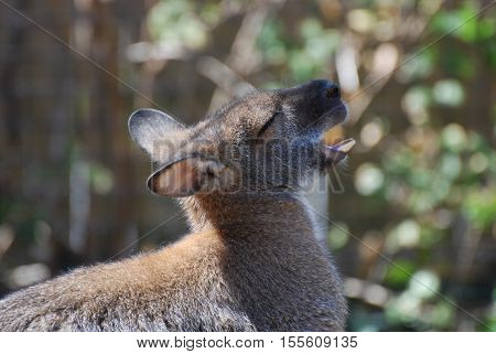 Mouth open on a cute wallaby showing his bottom teeth.