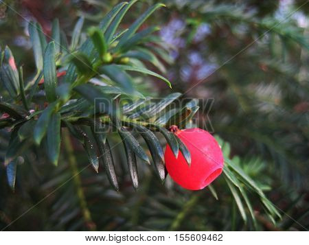 AUTUMN BACKGROUND WITH BRIGHT RED YEW BERRY AND GREEN DECIDUOUS NEEDLES