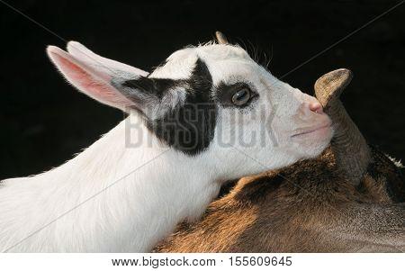 Head of beautiful baby nigerian dwarf goat