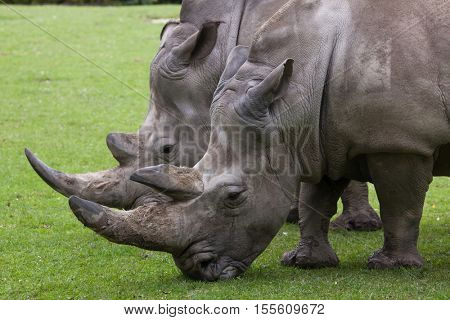 Southern white rhinoceros (Ceratotherium simum simum). Wildlife animal.