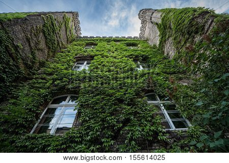 ancient wall with bushy green ivy; grape leaves on bricks of house;