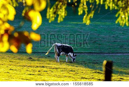 Black And White Cows On Pasturage, Sunset View