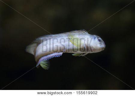 Goby (Gobius sp.). Marine fish.