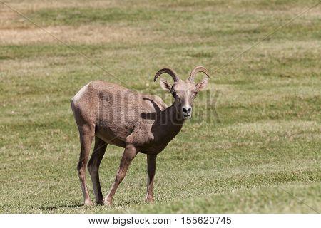 a desert bighorn sheep ewe in a field