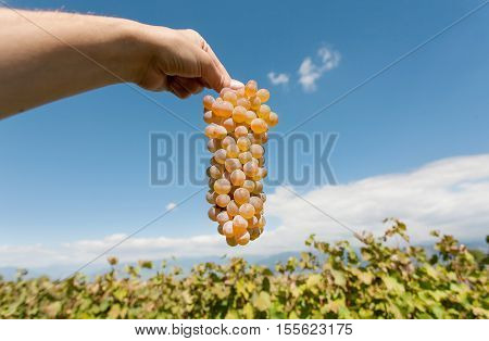 Bunch of grapes in the farmer's hand. Ripe juicy grapes on a background of the vineyard with grape shoots at harvest time. Natural landscape
