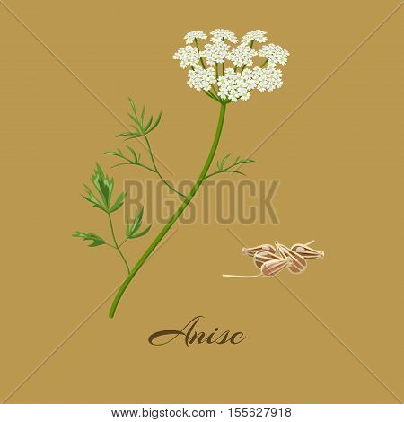 Anise or aniseed. Pimpinella anisum. Flowers and seeds. Vector illustration