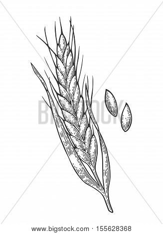 Ears of wheat, barley and grain malt. Isolated on white background. Fot poster with production process brewery of beer ot whiskey. Vector vintage engraved illustration. Hand drawn design element