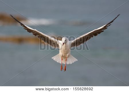 Beautiful Grey Headed Seagull with wings outstreched on the ocean breeze