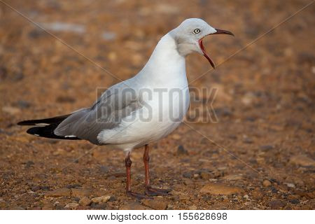 Beautiful Grey Headed Seagull with beak wide open and calling