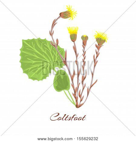 Coltsfoot flower. leaves yellow blossom. vector mother-and-stepmother