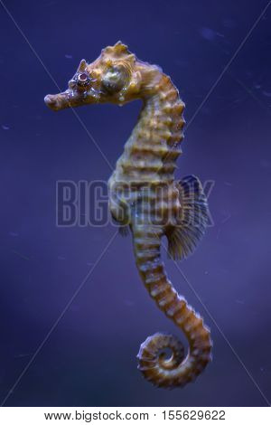 Short-snouted seahorse (Hippocampus hippocampus). Sea animal.