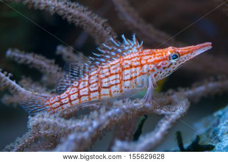 Longnose hawkfish (Oxycirrhites typus). Wildlife animal.