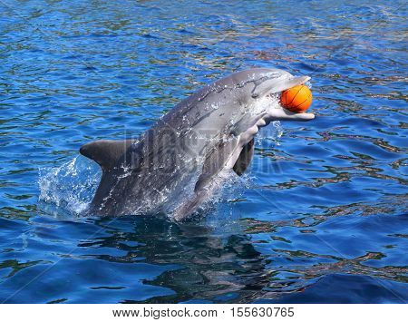 Dolphin smiling and playing with ball in blue lagoon. Funny and friendly animal. Greeting from tropical paradise.