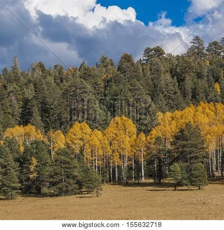 Forest of Arizona Aspens in the Fall