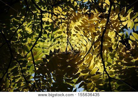 The canopy and the canopy of a black walnut tree in autumn Juglans nigra.