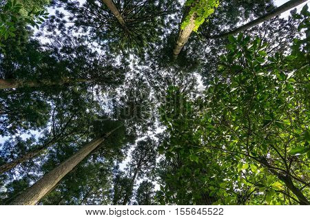 Looking up in the sequoia redwood forest. Tree canopy leaves as viewed directly below