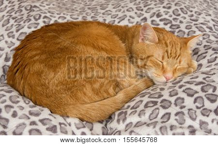 Ginger tabby cat comfortably asleep on a soft, cushy bed