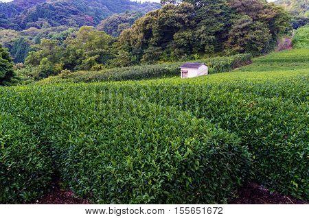 Farm house anomg green tea bushes. Green tea farm at Nihondaira Shizuoka Japan poster