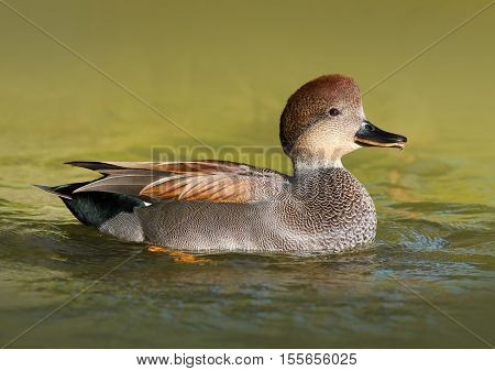 Male Gadwall Duck Swimming in the Water