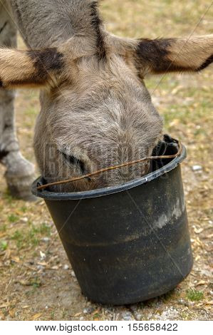 Donkey drinking water out of his trough