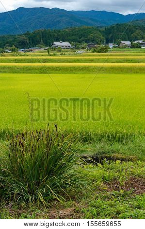 Bright green rice paddy field with weed bush on the foreground. Agriculture scene. Selective focus on weed bush