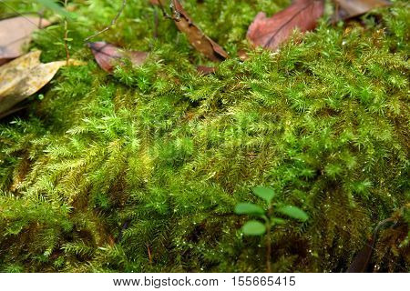 Moss With Drops Of Rain